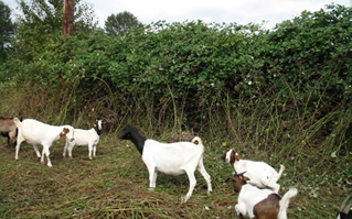 Vegetation Management using goats