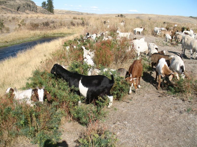 Vegetation Clearing Goats