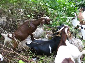 Vegetation Management Using Goats in Oregon