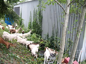 Using Goats for Natural Weed Control